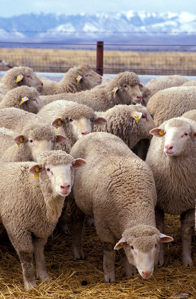 800px-Flock_of_sheep