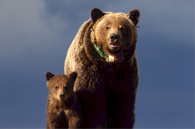 grizzly-bear-518242_640