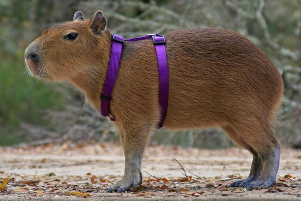 Capybara_harness