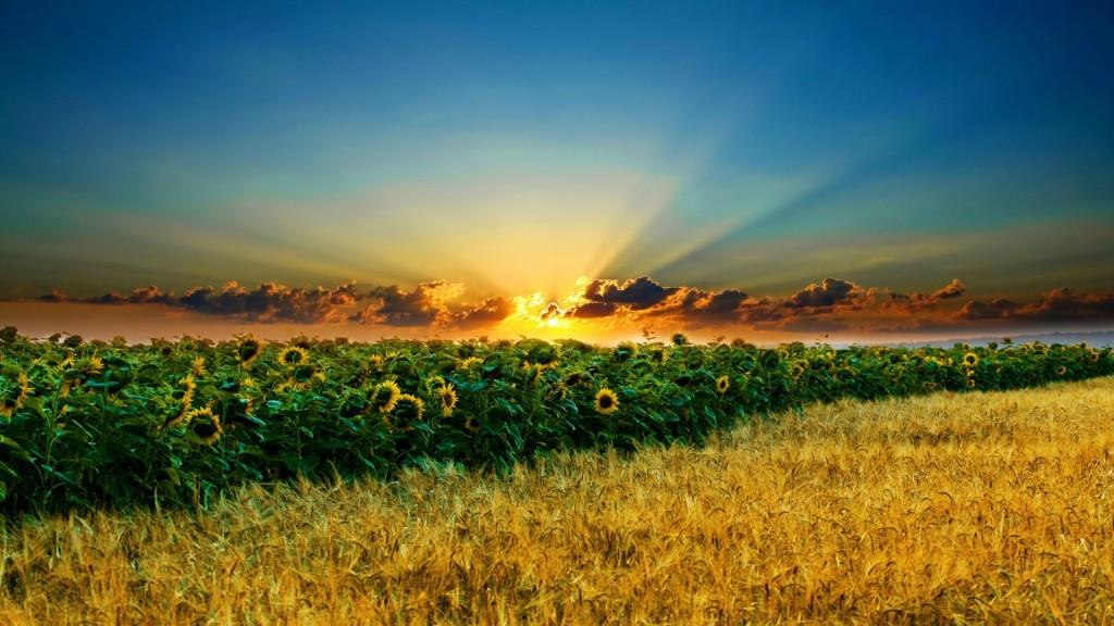 tramonto_girasoli_e_grano